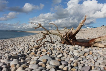 Driftwood at Chesil Cove